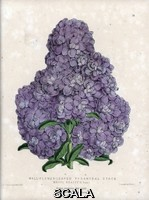 ******** Variete de Matthiola, de couleur pourpre, et a la forme pyramidale, surnommee Mauve Beauty. Lithographie de Worthington G.Smith (1835-1917), publiee in Floral Magazine, 1872, edite par Henry Honywood Dombrain (1818-1905).  Purple stock. Wall flower leaved pyramidal stock 'Mauve Beauty'. Matthiola. Handcolored botanical drawn and lithographed Worthington G. Smith (1835-1917), architect, engraver and mycologist, from 'Floral Magazine' 1872, by Henry Honywood Dombrain (1818-1905), clergyman gardener, and was editor of the 'Floral Magazine' from 1862 to 1873.