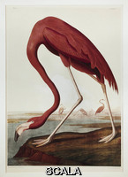 Audubon, John James (1780-1851) American flamingo
